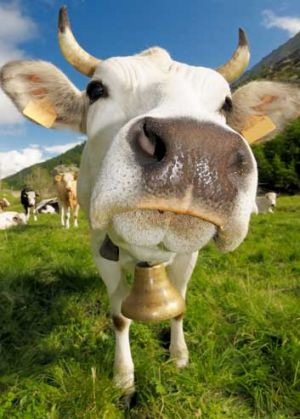 Cowbells are not just for fans in the Waikato.