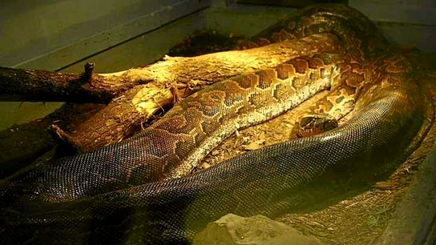 An African Rock Python (Python sebae) is pictured on display at the Indian River Reptile Zoo in Peterborough, Ontario.