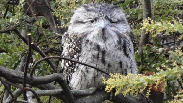 God's gift to cool ... A Tawny Frogmouth in a Queanbeyan garden.