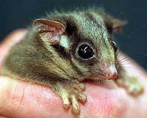 The highlands are the last main home for Leadbeater's possums.