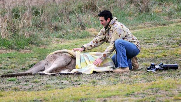 Marcus Fillinger readies a 90 kilogram male kangaroo for transport after sedation.