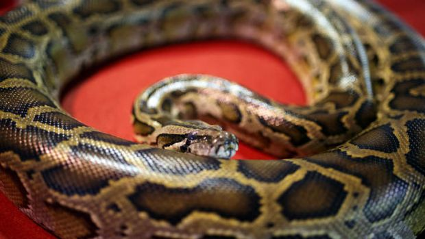 Shock find: Forty pythons were discovered in plastic storage bins in an Ontario motel room