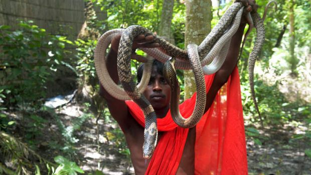 Serpentine: An Indian snake charmer displays his cobras to passers-by at the annual snake festival at Purba Bishnupur.