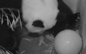 Pandamonium: Mei Xiang gives birth to her cub.