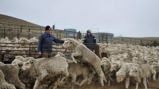 Graziers Howard and Anne Charles herd their sheep in for drenching on their property outside of Nimmitabel.