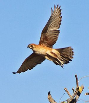 The kestrel's mottled underside camouflages it from prey animals on the ground.