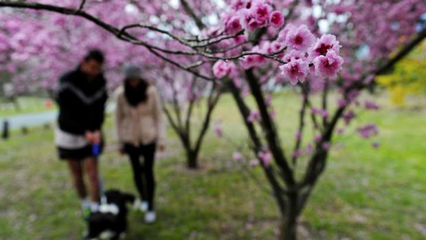 Adam Johnston and Miranda Scarr walk through the blossoms in Yarralumla with their dog Carver.
