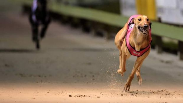 """""""A parliamentary inquiry will shine much-needed light on the greyhound racing code, which has been plagued by claims of ..."""