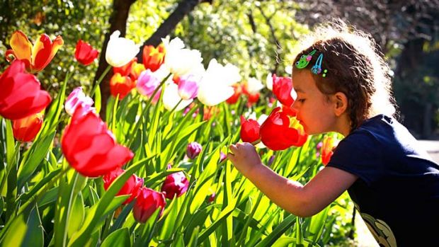 Smells good: Zara Wielgosz, of Poland, admires the blossoming tulips at the Royal Botanic Garden in Sydney.