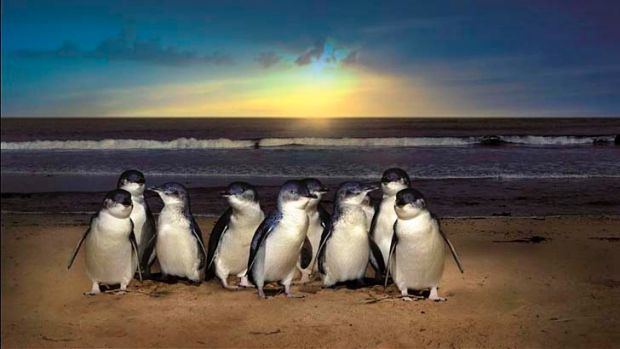 Phillip Island's Little Penguin colonies are potentially at risk.