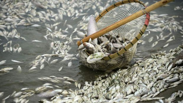 A net lifts up dead fish found in the Fu River in central China's Hubei province after an ammonia leak from a nearby factory.