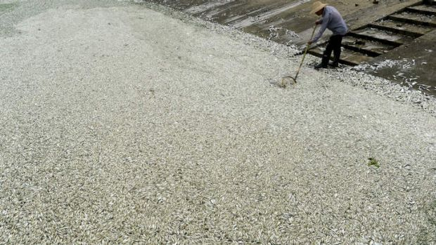 A man removes dead fish found in the Fu river in central China's Hubei province.