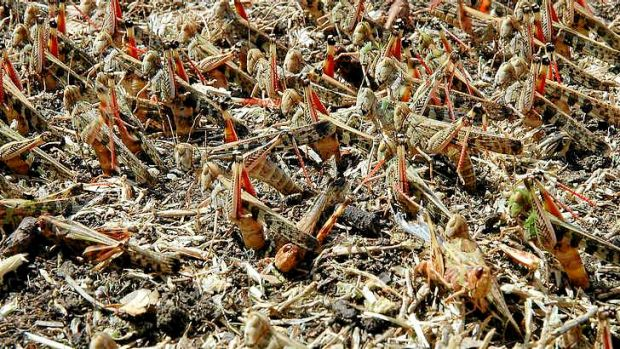 Adult eastern plague grasshoppers laying eggs.