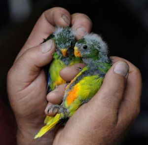 The species is classified ''critically endangered'', just above ''extinct''.
