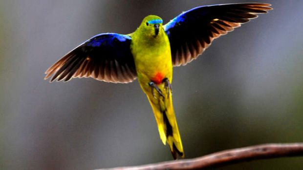 Rare sight: Fewer than 50 orange-bellied parrots are believed to live in the wild.