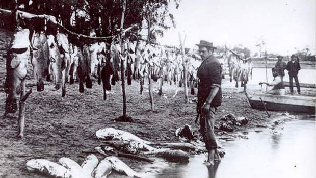 A commercial catch at Renmark in 1898.