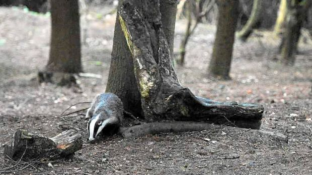 A badger walks through woodland near Pickering, northern England.