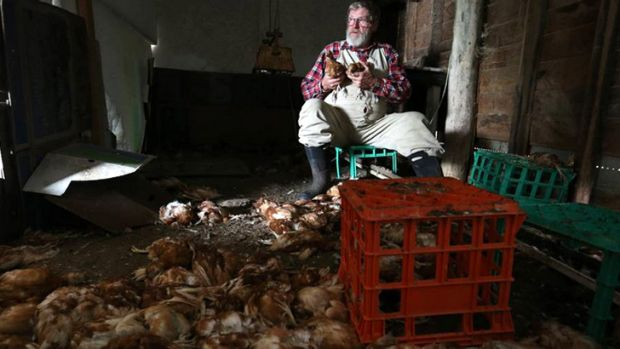 Alan 'Swampy Marsh cradles two surviving chickens after rampaging dogs slaughtered almost 1000 of his young hens on a ...