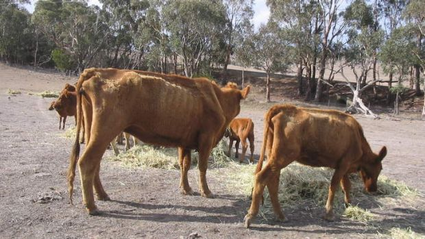 Cattle in poor body condition in the ACT region. (Photo courtesy of RSPCA).