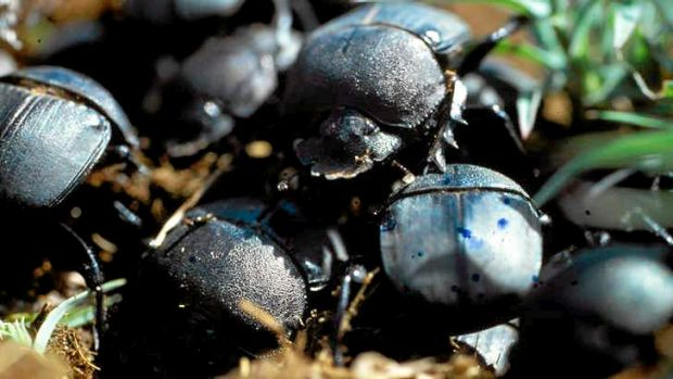 Dung beetles.