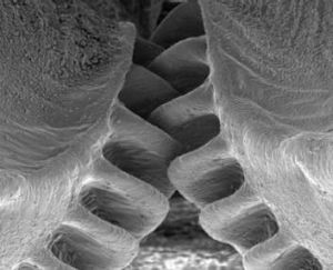 Close up: The intermeshing gears of the planthopper.