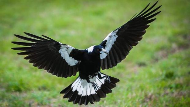 Magpie swooping season in Canberra.