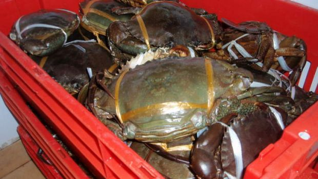 Crabs confiscated at a Darra restaurant.