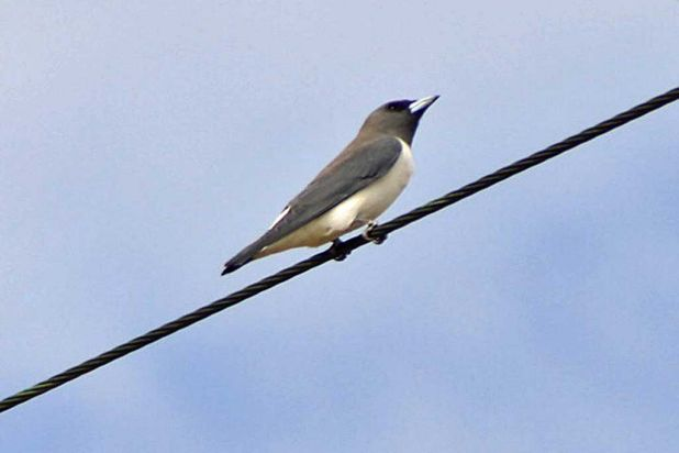 Black faced woodswallow at Derby