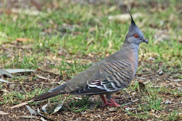 Crested pigeon at Yunderup