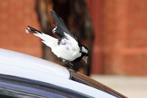 Magpie lark attacking its reflection in a car at Guildford