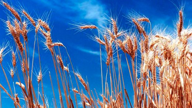 Crops are said to be under threat from global warming.