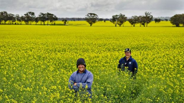 RARE BREED: Greg and Brad Morton in this season's canola crop at their Stockinbingal farm.