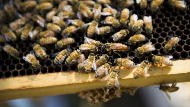 Third time's a charm: Imported queen bees may be key to improving bee industry genetics.