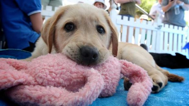 I want you: Volunteers needed to raise pups.