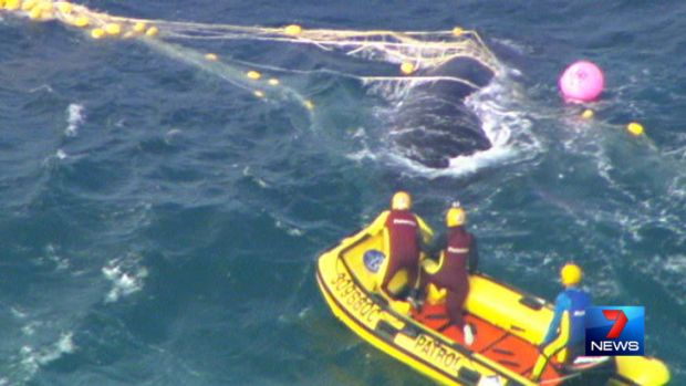 Rescue crews attempt to free the whale from the shark net.