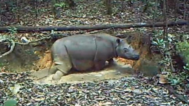Caught on camera: A Sumatran Rhino, thought to have died out in the Indonesian part of Borneo, soaks in a mud pool in ...
