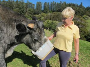 Feeding time … Robyn Menghetti tends to one of her blue-grey cows.