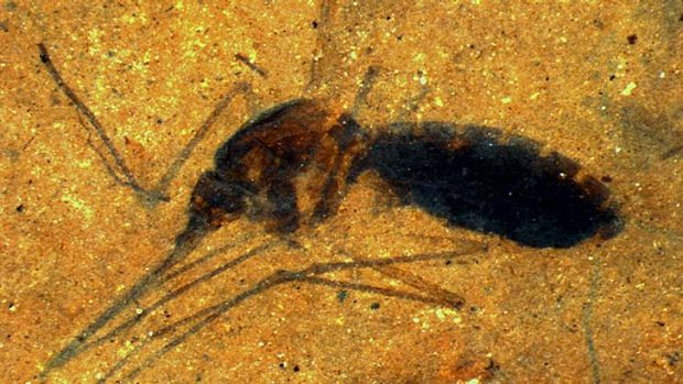 Improbable event: The fossilised mosquito was found in a US lakebed.
