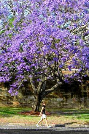 In bloom: Brett Summerell says jacaranda trees are flowering up to four weeks earlier.