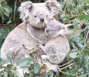 Koalas being counted in Redlands City