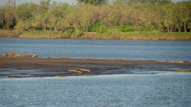 Crocodiles along the Ord River at low tide.