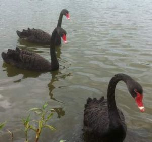 Some of Swan Lake's black swans.