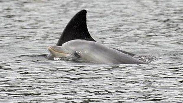 Dolphins spotted in the Swan River
