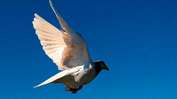Big business: Pigeon racing in Belgium can make breeders and owners wealthy.