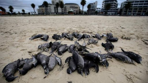 Increasing frequency: Hundreds of Tasmanian muttonbirds, also known as short-tailed shearwaters, have been found in dead ...
