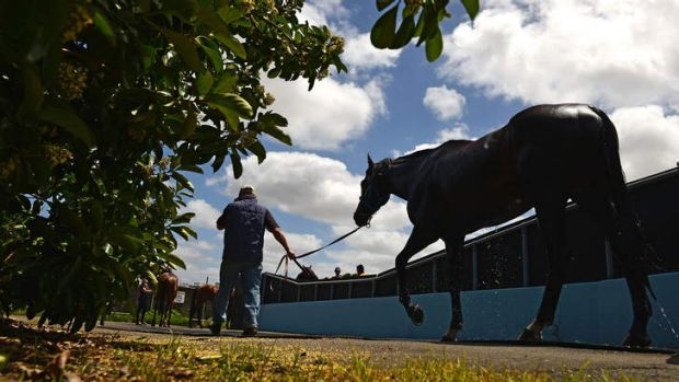 All quiet on Cup eve: Foreman Roger Neville cools Fiorente down after a swim at Flemington on Monday.