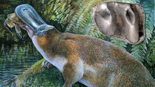 Full set of gnashers: the massive platypus that lived in Queensland.