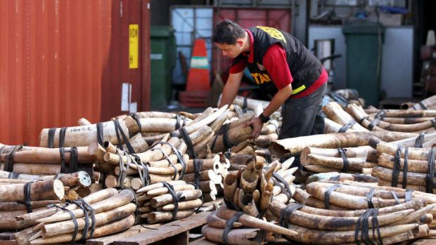 Illegal ivory trade: Two tonnes of elephant tusks are inspected by a customs officer.