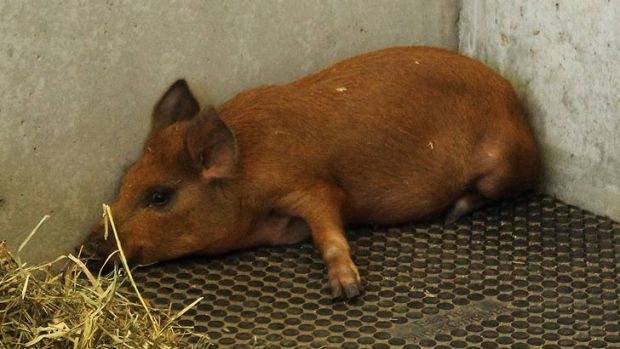 The RSPCA said the pig was stressed and would not eat following the incident at the Gabba.