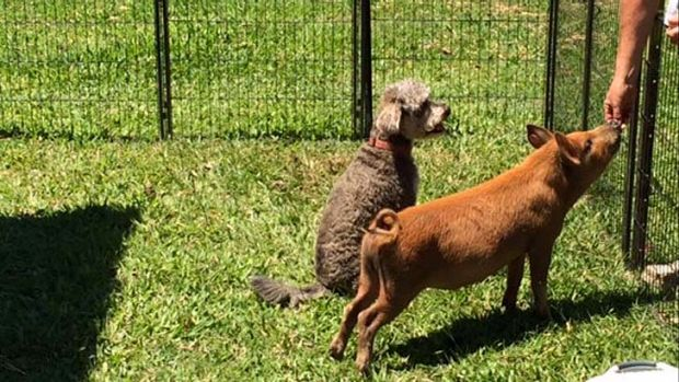 Ash the pig gets a treat while his canine pal waits his turn.